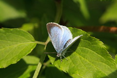 Holly blue butterfly (jon lees) Tags: newtownards countydown northernireland wildlife whitespots lead mines invertebrate insect
