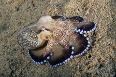0M9A0097 (PaoloLora) Tags: puerto galera puertogalera mindoro filippine philippines fishermenscove fishermens cove macro dive scuba underwater paolo lora nudibranch shrimp critters