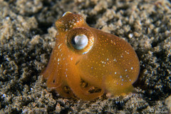 0M9A0108 (PaoloLora) Tags: puerto galera puertogalera mindoro filippine philippines fishermenscove fishermens cove macro dive scuba underwater paolo lora nudibranch shrimp critters
