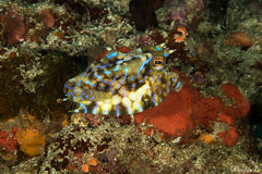 0M9A0127 (PaoloLora) Tags: puerto galera puertogalera mindoro filippine philippines fishermenscove fishermens cove macro dive scuba underwater paolo lora nudibranch shrimp critters