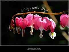 Heart to heart 💕 (Millie Cruz) Tags: bleedingheart flower mothersday celebration card nybotanicalgarden newyork hearttoheart holiday