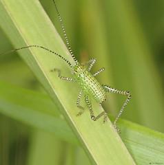 Baby Bush-cricket (timz501) Tags: bushcricket speckledbushcricket leptophyespunctatissima jersey nymph