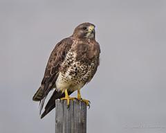 Swainson's Hawk (Turk Images) Tags: buteoswainsoni swainsonshawk accipitridae birds breeding leader saskatchewan prairies raptor spring