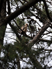 Young Great Horned Owl_5815 (Theory Of Flight) Tags: owl greathornedowl wildlife birds norfolkbotanicalgarden nature