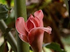 Bouton de rose de cristal (ou Rose de porcelaine) (Faapuroa) Tags: polynesia polynésie tahiti nature fleur flower rose cristal nikon p1000 coolpix