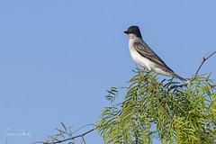 Eastern Kingbird (Stephen J Pollard (Loud Music Lover of Nature)) Tags: tiranodorsonegro easternkingbird bird ave flycatcher mosquero tyrannustyrannus