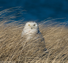 In the grass (v4vodka) Tags: bird birding birdwatching animal nature wildife owl snowyowl sowa sowka predator raptor buboscandiacus sowasniezna puchaczsniezny nycteascandiaca schneeeule eule 雪鸮
