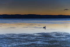 Pelican and Sunset at Long Jetty (Merrillie) Tags: sunset australia reflections egret peninsula lake lowtide longjetty clouds fauna nsw tuggerahlake silhouettes scenery beautiful animal bird scenic easterngreategret outdoors water jetty centralcoast wharf newsouthwales