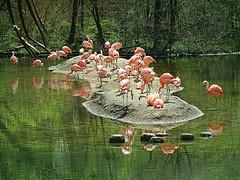 Flamingo flock (DannyAbe) Tags: flamingoes bronxzoo birds pink