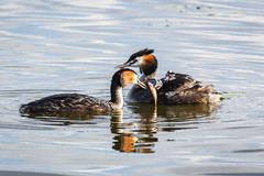 Great Crested Grebe Family Portrait (Tris1972 (tmorphewimages.co.uk)) Tags: greatcrestedgrebe nature birds animals mammals juveniles chicks feeding podicepscristatus waterbird family fish river ely cambridgeshire uk eastanglia rivergreatouse elycountrypark spring
