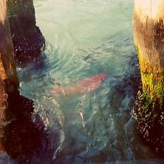 The fish (Venezia mind) (kokeb.fr) Tags: venise fish embarcadère venezia biodiversité biodiversity