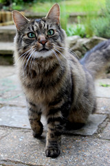 The Cattening (Lysualise) Tags: cat kitty longhaired animals animal amateur canon garden gorgeous beautiful adorable lovely smoosh