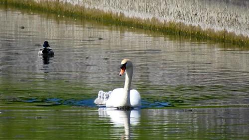 AP0402.DSCN0395.02 oiseau aquatique 02 (cygne couple famille cygneau-petit lac) Neuville