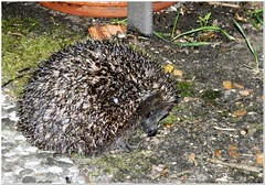 Do you really need the Flashlight? (MaxUndFriedel) Tags: nature animal hedgehog spring may night flashlight