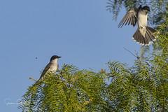 Eastern Kingbirds (Stephen J Pollard (Loud Music Lover of Nature)) Tags: tiranodorsonegro easternkingbird bird ave tyrannustyrannus flycatcher mosquero