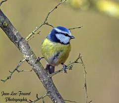 Mésange bleue (Cyanistes caeruleus - Eurasian Blue Tit ) (jean-lucfoucret) Tags: oiseau bird aves plumage bokeh arbuste jaune mésange bleue mésangebleue nikon d500 nikond500 nikkor200500f56 nikkor 200500f56 cyanistes caeruleus eurasian blue tit herrerillo común chapimazul cinciarella europea
