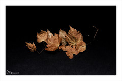 remains of the autumn (alamond) Tags: remains autumn fire red vine leaf dark canon 7d markii mkii llens ef 1740 f4 l usm alamond brane zalar