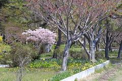 The park (しまむー) Tags: fujifilm xe2 ebc fujinon 55mm f18 velvia yokohama kabushima 横浜 蕪島 八戸 蕪島神社 菜の花
