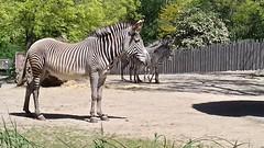 Grevy zebras (~~Nelly~~) Tags: mechelen zebra planckendael