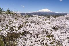 Sakura and Mt. Iwate (kat-taka) Tags: mountain sakura tree flower sky spring snow