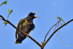 European Starling (jt893x) Tags: 150600mm bird blackbird d500 europeanstarling jt893x nikon nikond500 sigma sigma150600mmf563dgoshsms songbird starling sturnusvulgaris coth alittlebeauty coth5 sunrays5