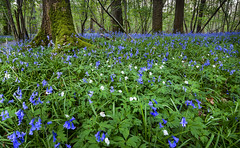 In the mix. (Through Bri`s Lens) Tags: sussex bluebells moss trees forest woods brianspicer canon5dmk3 canon1635f4