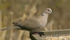 CollaredDove (Tony Tooth) Tags: nikon d7100 sigma 50500mm bird dove collareddove wildlife meerbrook staffs staffordshire