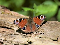 Peacock Butterfly (doranstacey) Tags: nature wildlife insects butterfly butterflies peacock lathkill dale derbyshire dales peak district macro tamron 150600mm nikon d5300