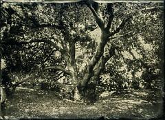 (Blurmageddon) Tags: 5x7 wetplatecollodion newguycollodion epsonv700 senecaimprovedview landscape arboretum losangelescountyarboretumandbotanicalgardens nature naturallight tintype alumitype