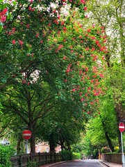 Red Horse-Chestnut (marc.barrot) Tags: urbanlandscape shotoniphone redhorsechestnut trees uk nw3 london hampstead greenhill