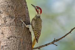 Беннетова кампетера, Campethera bennettii bennettii, Bennett's Woodpecker (Oleg Nomad) Tags: беннетовакампетера campetherabennettiibennettii bennettswoodpecker птицы африка калахари bird aves africa botswana ботсвана