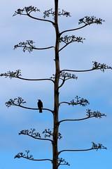 the first spectator (Wackelaugen) Tags: bird tree sky puertodelacruz tenerife teneriffa spain europe canaries canaryislands canaryisles canon eos 760d photo photography stephan wackelaugen