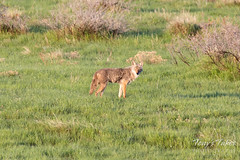 May 12, 2019 - A coyote in the foothills. (Tony's Takes)