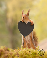 red squirrel leaning on a heart with open mouth (Geert Weggen) Tags: animal branchplantpart closeup cute horizontal looking mammal nature nopeople photography red rodent squirrel redsquirrel white yellow heart holiday valentine love text word openmouth bispgården jämtland sweden geert weggen ragunda