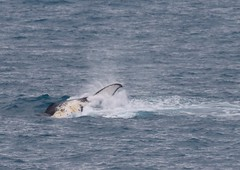 Humpback Whale - tail being slapped into ocean (Paul Cottis) Tags: humpback whale southgeorgia southatlantic southernocean sea ocean cetacean paulcottis 28 january 2019 jan marine mammal
