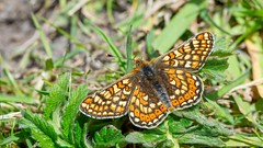 Marsh Fritillary (Max Thompson Photography) Tags: nature wildlife south west england uk butterfly bokeh light summer spring dorset cerne abbas marsh fritillary