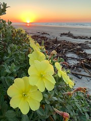 When you see things nobody else does 😮😍 (markshephard800) Tags: driftwood dunes landscape seascape sand gelb jeune yellow fleurs bloemen blumen flora flowers flores fiori plage beach usa texas sunrise galveston
