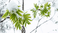 2019-05-12_16-14_DSC09962_C1 (j-h-b) Tags: schnee pflanze blatt grün highkey
