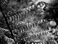 mull of galloway logan botanic garden-4131531 (E.........'s Diary) Tags: eddie ross olympus omd em5 mark ii spring 2019 logan botanic garden dumries galloway mull mono black white plants botanics