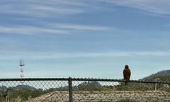 #LakeMerced #walk (Σταύρος) Tags: birdonthefence westlake hawksitting hawk parkmerced lakeside onthefence lakemerced walk sf sanfrancisco city sfist thecity санфранциско sãofrancisco saofrancisco サンフランシスコ 샌프란시스코 聖弗朗西斯科 norcal سانفرانسيسكو lake 湖 meer lac see λίμνη 호수 innsjø озеро sjö llyn echibi workout mapmywalk freshwaterlake tpc hardingpark park lm pacificrowingclub lagunadenuestraseñoradelamerced laguna rowingclub westlakevillage lakeshore tpchardingpark 1963