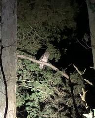 Where the Barred Owl Calls (martytdx) Tags: delawarebirdathon birdathon owl strigidae strix strixvaria barredowl birdofprey birds