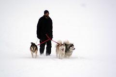 IMG_7074_AutoColor (LifeIsForEnjoying) Tags: husky huskies dog dogs mushing nike kaskae sitka snow