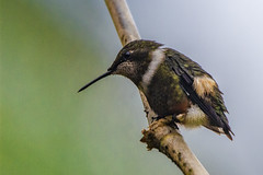 Calliphlox mitchellii (Purple-throated Woodstar / Zumbador pechiblanco) (PriscillaBurcher) Tags: calliphloxmitchellii purplethroatedwoodstar zumbadorpechiblanco trochilidae colibríesdecolombia hummingbirdsfromcolombia birdsofthecolombianandes hummingbirdsofcolombia avesdeaméricadelsur avesdecolombia birdsofcolombia fincaalejandria km18viacalibuenaventura cali colombia priscillaburcher dsc6163
