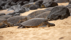 Green Sea Turtle Portrait 3 (dmills727) Tags: hawaii hookipabeachpark maui herp reptile turtle