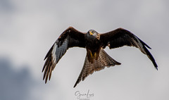 Red Kites , taken at Bwlch Nant yr Arian, Mid Wales. (Photography by Gavin Lewis) Tags: wales redkite