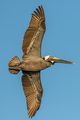 Brown Pelican Inflight (dbadair) Tags: outdoor seaside shore sea nature wildlife 7dm2 7d ii ef100400mm canon florida bird