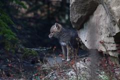 Coyote Pups (Prairie_Wolf) Tags: coyote canislatrans prairiewolf urbanwildlife calgary yyc alberta rachelmackayphotography