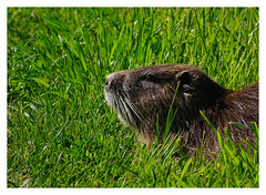 Myocastor coypus (M.L Photographie) Tags: animal nature wild wildlife wildlifephoto wildlifephotography mammifère france normandie eure ragondin nutria myocastor sony dschx400v