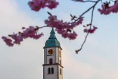 Spring Bloem (stefan.bayer) Tags: sb bloem spring frühlings blüte kirsch baum tree cherry church kirchturm torenspits time clock zeit uhr top bad wurzach wurzacher frühling flower