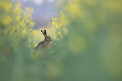 Brown Hare (Daniel Trim) Tags: oilseed oil seed rape crops crop farmland nature farm fields agriculture brown hare mammal uk wildlife lepus europaeus animal bedfordshire